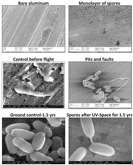 bacillus-pumilus-SAFR-032-spores